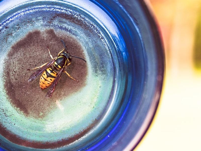 Colorful Wasp